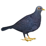 African Olive Pigeon (RGDS)