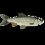Common Dace (PaJaS30)