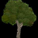 Brazilian Pepper Tree (Aurora Designs)