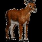 Bates' Pygmy Antelope (Tamara Henson)