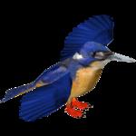Azure Kingfisher (Jose Antonio)