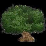 Sycamore Fig (Kangorilaphant)