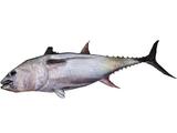 Whole Tuna (Tyranachu)