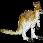 Antilopine Kangaroo (Tamara Henson)