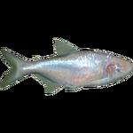 Blind Cave Fish (Whalebite)