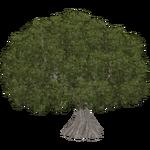 Sacred Fig (Aurora Designs)