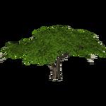 Umbrella Thorn Acacia (slice)