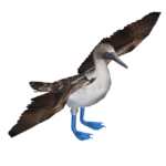 Blue-footed Booby (KingCheetah)
