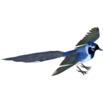 Black-Throated Magpie-Jay (Whalebite)