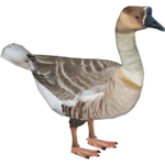 African Goose (Goldenfire)