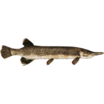 Alligator Gar (Zerosvalmont)