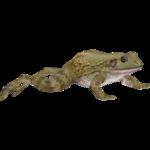 American Bullfrog (ZTABC Team)
