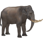 Asiatic Straight-Tusked Elephant (Tamara Henson)