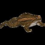 Banded Bullfrog (Tamara Henson)