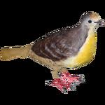 Cinnamon Ground Dove (Samuel)