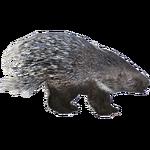 European Porcupine (HENDRIX)