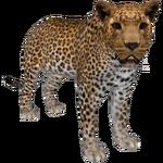African Leopard (Aurora Designs)