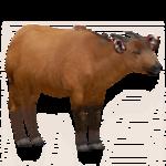Congo Buffalo (Robert, Royboy407 & Tom)