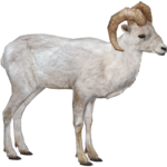 Dall Sheep (MiBound)