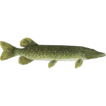 Northern Pike (HENDRIX)