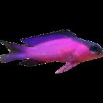 Blackcap Basslet (Dycki1231)