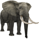 African Bush Elephant (Aurora Designs)