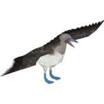 Blue-footed Booby (Jannick)