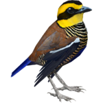 Bornean Banded Pitta (RGDS)
