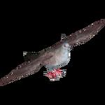 Crested Pigeon (Samuel)