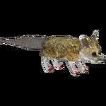 Fat-tailed Dunnart (Tamara Henson)