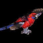 Crimson Rosella (MiBound)