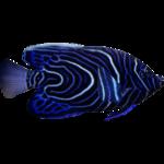 Emperor Angelfish (Dycki1231)