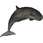 False Killer Whale (Aurora Designs)