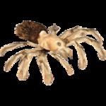 Arizona Blond Tarantula (Terrena Laxamentum)