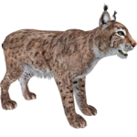Eurasian Lynx (ZTABC Team)