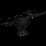 Common Raven (Jannick)