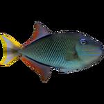 Crosshatch Triggerfish (Whalebite)