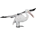 Australian Pelican (Tamara Henson)
