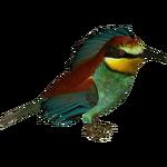 European Bee-eater (Zerosvalmont)
