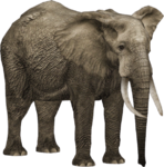 African Forest Elephant (HENDRIX)