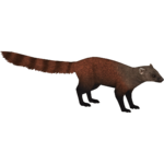 Eastern Ring-tailed Mongoose (Jannick)