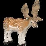 Fallow Deer (Jannick)
