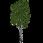 Hairy Birch (Ulquiorra)