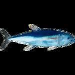 Atlantic Bluefin Tuna (Whalebite)