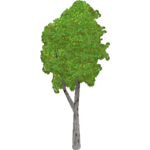 Hairy Birch (HENDRIX)