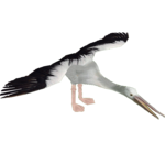 Australian Pelican (DutchDesigns)