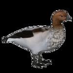Australian Wood Duck (Nessich)