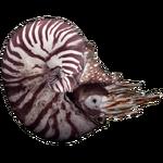 Ammonite (Andrew12)