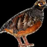 Chestnut-bellied Partridge (MiBound)