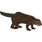 Asian Small-clawed Otter (Jannick)